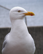 Meet Gully the seagull